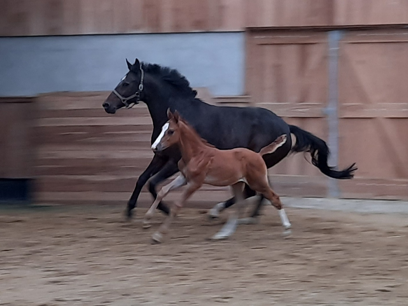 Colt by For Pleasure x Arko III